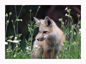 Fox Kit in Flowers - Copyright MacNeil Lyons Images