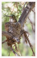 Hummingbird_On_Nest_Copyright_MacNeil_Lyons_Images