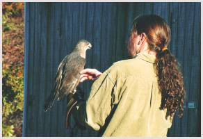 MacNeil w Coopers Hawk - Photo Credit Ken Lyons